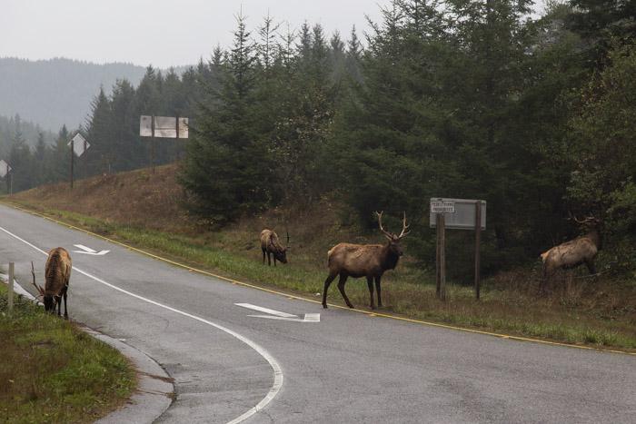Roadside Elk, CA